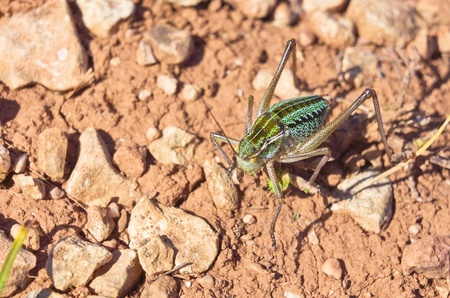 acrididae: big grasshopper in the mountains of Crimea