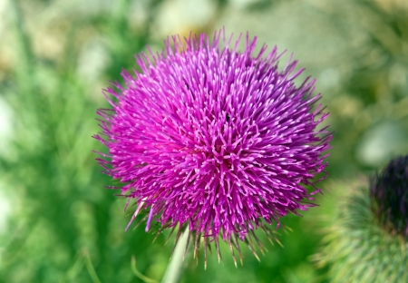 burdock: Bush of a burdock on green background