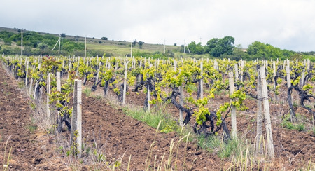 bare wire: Early Spring Vineyard in Balaklava Stock Photo