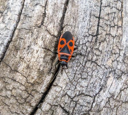 microcosm: Firebug  Pyrrhocoris apterus sitting on wood