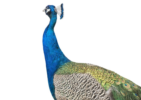 Beautiful Peacock Isolated On White Background photo