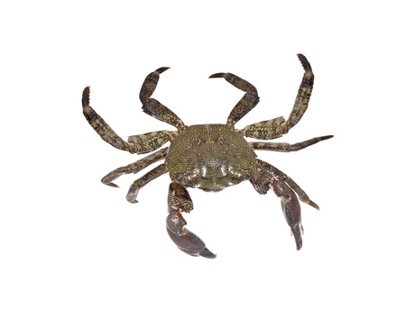 Living crab isolated on white background photo