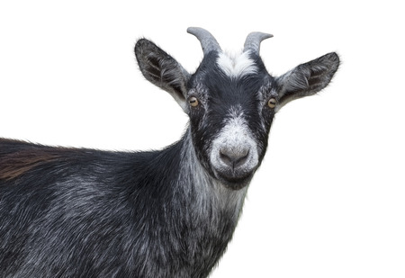 Portrait of black goat on a white