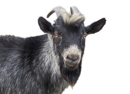 Retrato de cabra negro sobre un fondo blanco