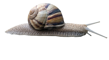 slower: A large beautiful snail on a white background