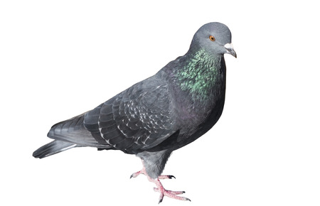 one grey pigeon isolated on white background