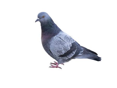 Una paloma, imagen sobre un fondo blanco Foto de archivo - 35176729