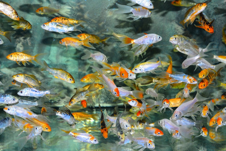 chaetodontidae: Exotic fishes in an Aquarium