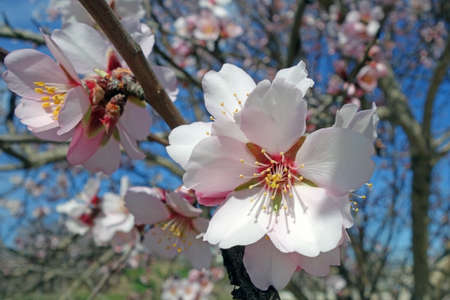 abloom: beautiful Spring flower on a tree