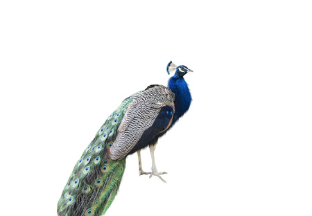 common peafowl: Beautiful Peacock Isolated On White Background
