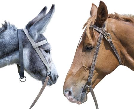 grosse fesse: T�te de cheval contre une t�te d'un �ne sur le fond blanc Banque d'images