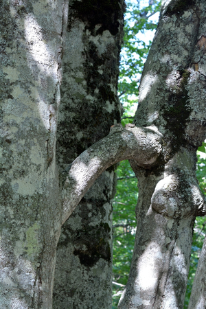 bark carving: two big trees which have grown together among themselves
