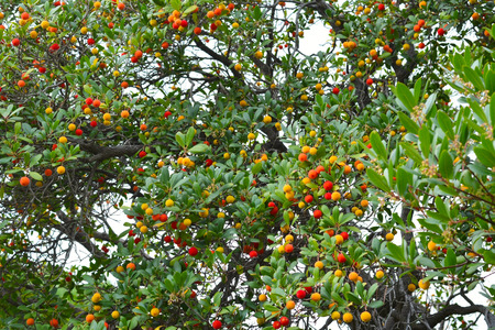 strawberry tree: the strawberry tree ( arbutus unedo ) Stock Photo