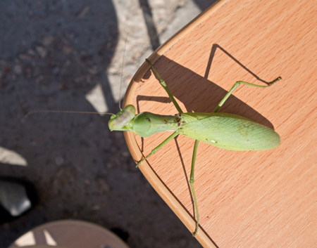 european mantis: the big Mantis sitting on the table