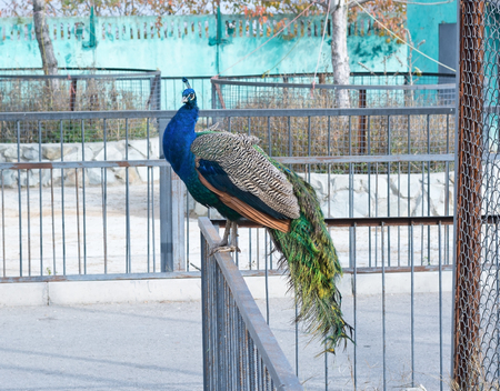 peacock wheel: The big peacock sitting on the fence