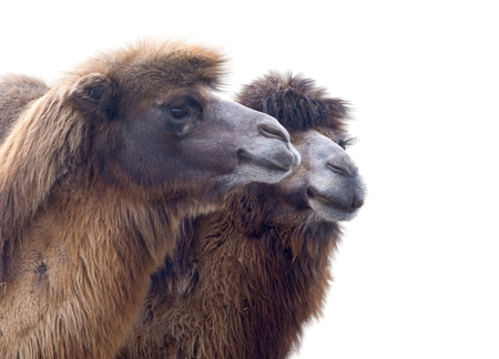 nostril: portrait of the beautiful camel on white background