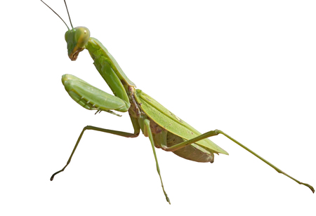 european mantis: big Mantis  in front of white background