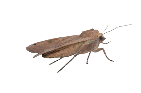 underwing: Large Yellow Underwing Moth on white background