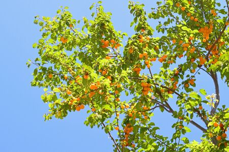 alycha: Cherry-plum tree with fruits growing in the garden Stock Photo