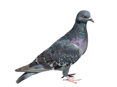 Beautiful pigeon on white background