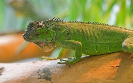 green iguana resting on a tree