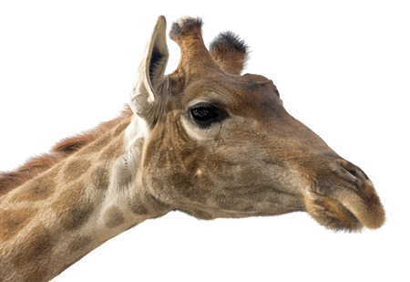 herbivores: Giraffe head face isolated on white background Stock Photo