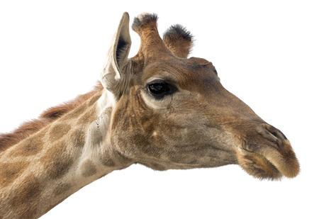 jirafa fondo blanco: la cara principal de la jirafa aislada en el fondo blanco