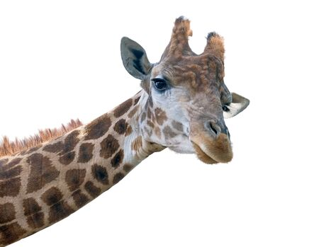 jirafa fondo blanco: Giraffe head face isolated on white background Foto de archivo