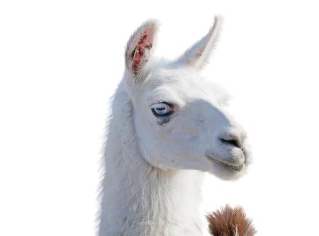 Beautiful lama portrait on a white background Stock Photo