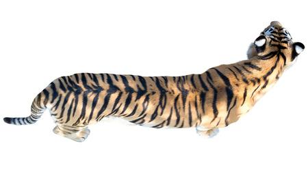 tigresa: the big Amur tiger on a white background