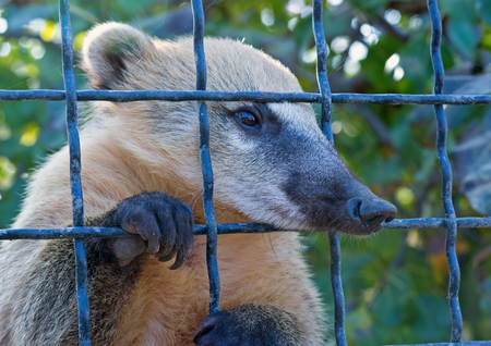 South American Coati  in a cage