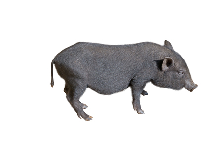 potbellied: vietnamese potbellied pig  in front of a white background Stock Photo