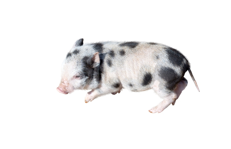 little young pig on white background