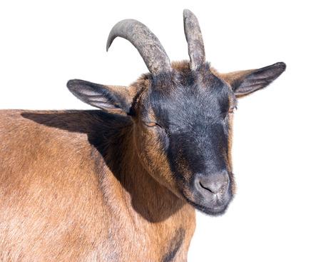 Portrait of white goat on a white background Stock Photo