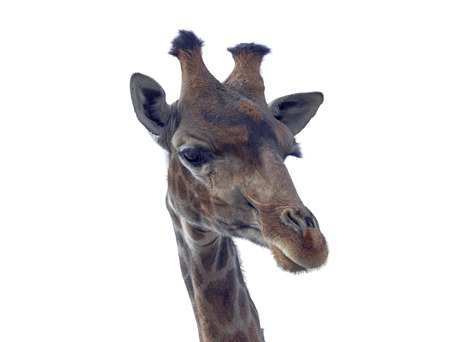 jirafa fondo blanco: Giraffe head face isolated on white background Foto de archivo