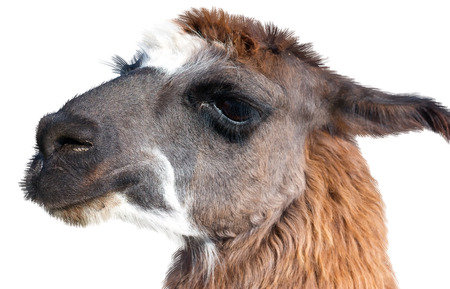 Beautiful lama portrait on a white background Stock Photo