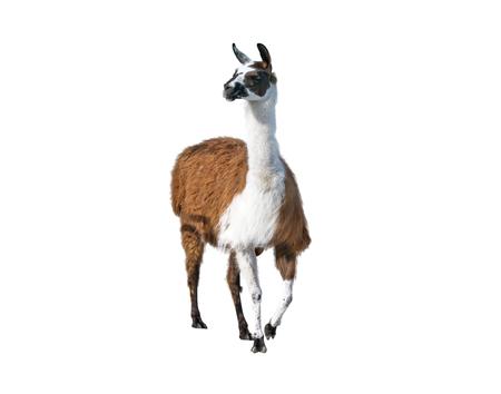 Beautiful lama portrait on a white background Standard-Bild