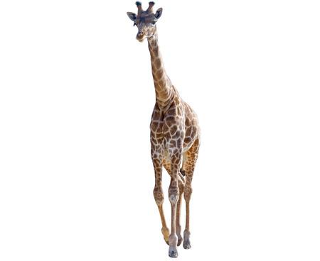 big beautiful Giraffe isolated on white background Stock Photo