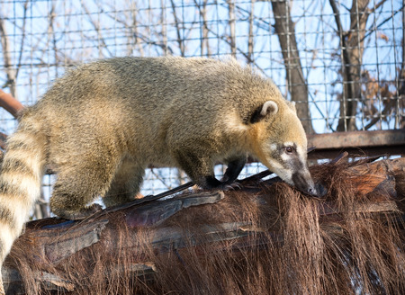 the South American coati (Nasua nasua) Stock Photo