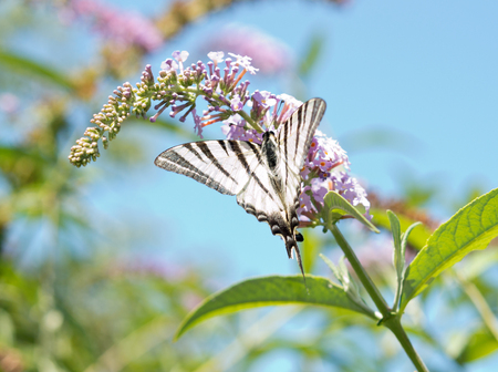 big beautiful butterfly sits on a flower Stock Photo