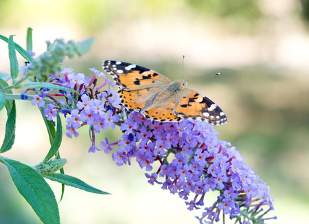 tendrils: big beautiful butterfly sits on a flower Stock Photo