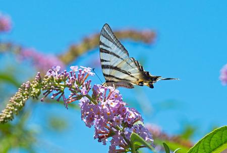 grand beau papillon assis sur une fleur Banque d'images