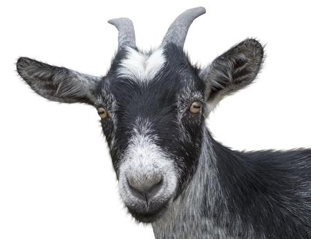 black goat on a white background
