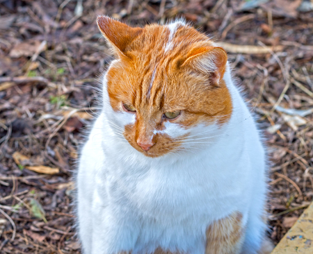 big beautiful ginger cat