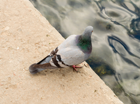 A pigeon on a walk Stock Photo