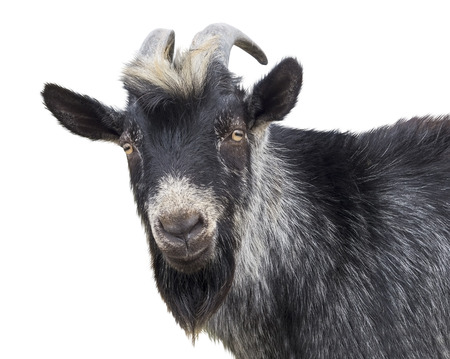 Portrait of black goat on a white background