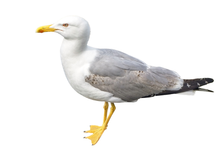 big seagull on white background Stock Photo