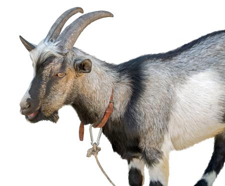 Portrait goat on white background