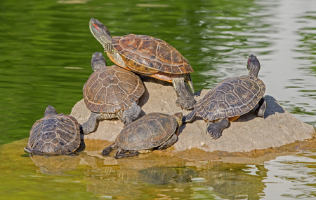 Turtle family is calming on the stone in small pond