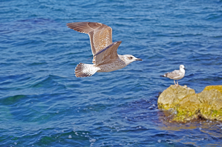 sea gull which flies over surface of the sea